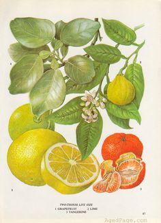 Grapefruit, Lime and Tangerine, Fruit Print, Botanical Illustration, Vintage Kitchen Decor, Wall Art