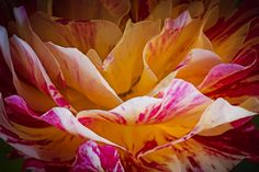 Photograph Up close n Rose by Adnan Khan on 500px