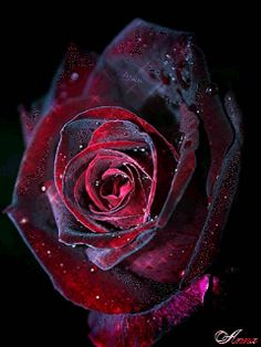 Red And Black Roses Wallpaper For Mobile Phone Black Roses Wallpaper, Flower Wallpaper, Black And Red Roses, Blue Roses, Beautiful Rose Flowers, Pretty Roses, Wallpapers For Mobile Phones, Mobile Wallpaper, Phone Wallpapers