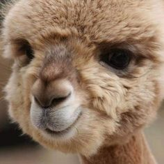 The 10 most cute and fluffy animals in the world (with pictures! Alpaca Funny, Cute Alpaca, Funny Llama, Funny Animal Memes, Llama Llama, Fluffy Animals, Cute Baby Animals, Animals And Pets, Farm Animals