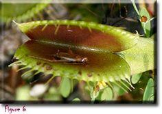 Venus Flytrap, a carnivorous plant