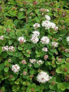 Verhoangervo Lumikki Ahosentaimisto. Fi Garden, Plants, Garten, Lawn And Garden, Gardens, Plant, Gardening, Outdoor, Yard