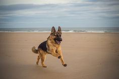 Looks like this GSD is having the time of his life on the beach! Repin or like if you love GSD's!