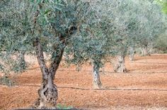 With their evergreen foliage and spreading growth habit, olive trees (Olea europaea) add year-round ornamental value to landscaping within U. Department of Agriculture plant hardiness zones 8 to . Growing Olive Trees, Growing Grapes, Growing Tree, Potted Trees, Trees To Plant, How To Grow Olives, Olive Tree Care, Olive Seeds, Olive Plant