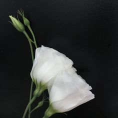 White Eustoma - White Eustoma with black background
