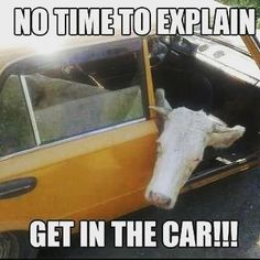 Cows can be funny at times and that makes them the subject of many jokes. Cow Memes are popping up everywhere. Here are 20 of the best cow memes: Cute Funny Animals, Funny Animal Pictures, Funny Cute, Funny Images, The Funny, Hilarious, Irish Memes, Funny Farm, Animal Memes