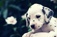 101 dalmations loved the movie & always wanted one of these pups