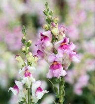 Antirrhinum. Lipstick Silver 1000 seeds Antirrhinum, Purple Tips, Patio Plants, Flower Seeds, Cut Flowers, Rose, Garden, Pink, Garten