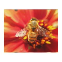 Bee on Red Flower Wood Canvas - A closeup photo of a honeybee on a red dahlia flower. Bright and colorful nature photography, taken summer 2014 in Corralitos, California.