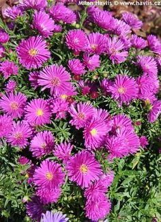 Aster Aster, Plants