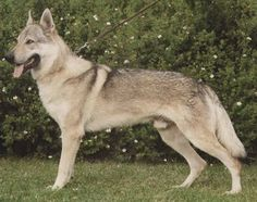 My dog Brandy looked like this guy, German Shepard x Carpathian Wolf (still miss her after 22 years)