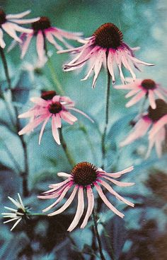 072014 echinacea ~ purple cone flower means strength and healing Wicca, Magick, Fern Gully, Plant Magic, Hedge Witch, Flower Meanings, Good Luck To You, Language Of Flowers, Colour Pallete