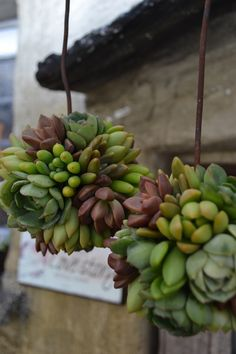 succulent spheres. beautiful textures and great for hot, dry summers.