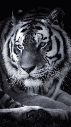 Big Cats, Cool Cats, Beautiful Cats, Animals Beautiful, Tiger Spirit Animal, Wild Animal Wallpaper, Tiger World, Animals And Pets, Cute Animals
