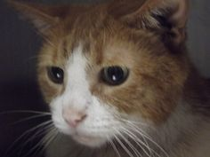 Cat is an adoptable Domestic Short Hair - Orange And White Cat in Shelbyville, IN. Welcome to Petfinder and the bio behind 'Cat'�� When the owner relinquished this heavy-weight champion of the world b...