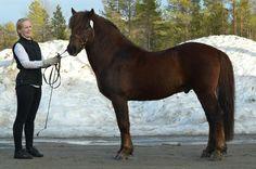 Trollvik Vahkar N-06-3683  Northlands New Forest, Show Jumping, Dressage, Ponies, Equestrian, Animals, Animales, Animaux, Pony