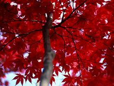 "A Maryland maple tree shows off the flaming foliage beloved by ""leaf-peepers."" Experts say most people judge the quality of each autumn's foliage by the prevalence of red leaves."