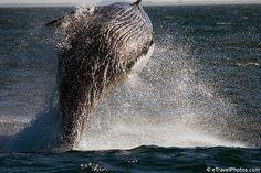 Humpback Whale Breaching. Iceland