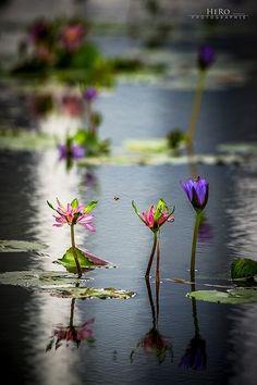 Lotus Flowers by Asmodel