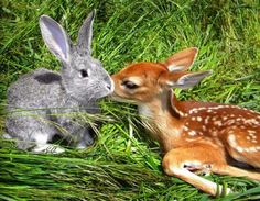 When Svetlana Harper spotted a shivering fawn on the roadside next to a dead doe, she brought the young deer home, nursed it back to health and named it Bambi. Bambi took an immediate liking to Ben, Harper's rabbit. Cute Creatures, Beautiful Creatures, Animals Beautiful, Unusual Animal Friendships, Unusual Animals, Cute Baby Animals, Animals And Pets, Funny Animals, Bambi And Thumper