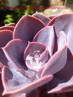 "Suculentas do jardim da ""Casa Catita"" - Algarve"