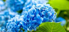 Blue flowers stand for loyalty, trust, faith, wisdom and confidence. And it hences one of the sweetest gestures that one can make. Here are some of the prettiest blue flowers ever.