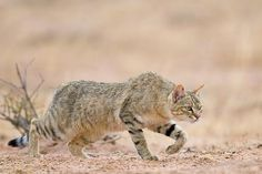 All the domestic kitties you know today have a common ancestor, the threatened African Wild Cat African Wild Cat, Pig Breeds, African Tree, Amur Leopard, Caracal, Rare Animals, Warrior Cats, Domestic Cat, Woodland Animals