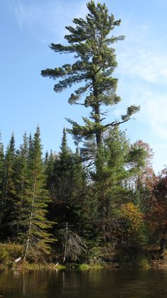 White pine along the AuSable River Lone Pine, Nature Tree, Lighthouses, Landscape Art, Michigan, Beautiful Places, Coast, Trees, Canada