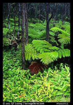 pictures of the rainforest of hawaii | Hawaiian rain forest ferns and trees. Hawaii Volcanoes National Park ...