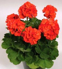 Types of Orange Geraniums | Home Geranium Zonal 'Patriot Orange'