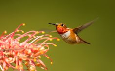 beautiful pictures of hummingbird  (Lyndon Waite 1920x1200)