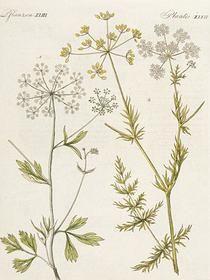 Cumin Herb Profile - Cuminum cyminum