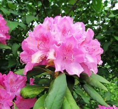 GREAT RHODODENDRON: (Rhododendron maximum). Photographed in Center Twp.,, Beaver County, PA. May 20, 2016.