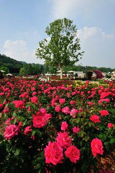 에버랜드 장미원 (Rose garden in Everland)