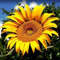 25+ American Giant Sunflower Seeds