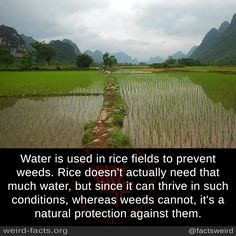 Water is used in rice fields to prevent weeds