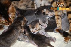 Burmese x Bengal kittens for sale | Godalming, Surrey | Pets4Homes