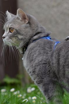 How to Get Your Cat Used to Walking on a Leash
