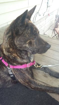 Brindle Pitbull German Shepherd Husky Mix 4 Months Old