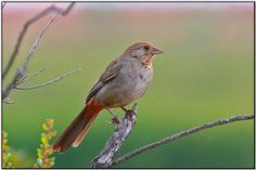 California Towhee by-daves-birdingpix.jpg 600×400 pixels