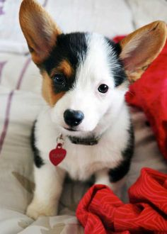 """Corgi <3 * in the AKC world she would be labeled flawed because of white side of her face - as a puppy she gets """"awwww"""" wouldnt it be wonderful if our children were Not Labeled & all got the """"awwww"""" too..."""