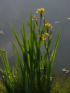 Yellow Iris, Iris pseudacorus - Flowers - NatureGate