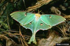 Saturniidae - giant silkworm moths | Wildlife Journal Junior