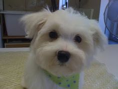 maltese puppy's first grooming