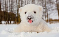Polar bears have transparent fur that only LOOKS white. http://ift.tt/1Na65zo