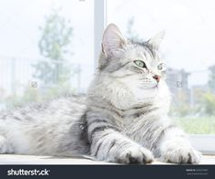 silver cat of siberian breed, new on @shutterstock #cats #gatti #gatos #pets #animals #kittens #puppies