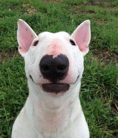 How do u not love that face! Pitbull Bull Terrier, White Bull Terrier, English Bull Terriers, Happy Animals, Cute Animals, Crazy Animals, Go Dog Go, Dog Rules, Dog Art