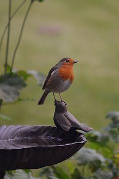 41 Ideas For Robin Bird House Nature Kinds Of Birds, All Birds, Little Birds, Love Birds, Pretty Birds, Beautiful Birds, Animals Beautiful, Cute Animals, Robin Vogel