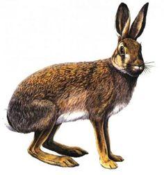 zajac poľný (Lepus europaeus) Pencil Drawings Of Animals, Hare, Troll, Kangaroo, Rabbit, Preschool, Photoshop, Landscape, Prints