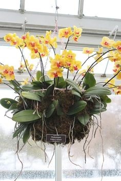 I want to do this hanging orchid! orchid-show-yellow-phalaenopsis-marie-viljoen-gardenista Indoor Orchids, Orchids Garden, Orchid Plants, Garden Plants, Indoor Plants, How To Plant Orchids, Orchid Repotting, Phalaenopsis Orchid Care, Indoor Flowers